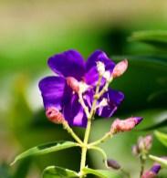 Tibouchina or Princess Flower