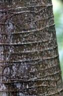 Guarumo or Cecropia Tree