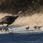 Wild turkey hen with brood of poults. photo by Kevin Cole