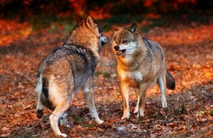 The wolves in Wisconsin must be elevated to game animal status in order to prevent them from being viewed as just pests.