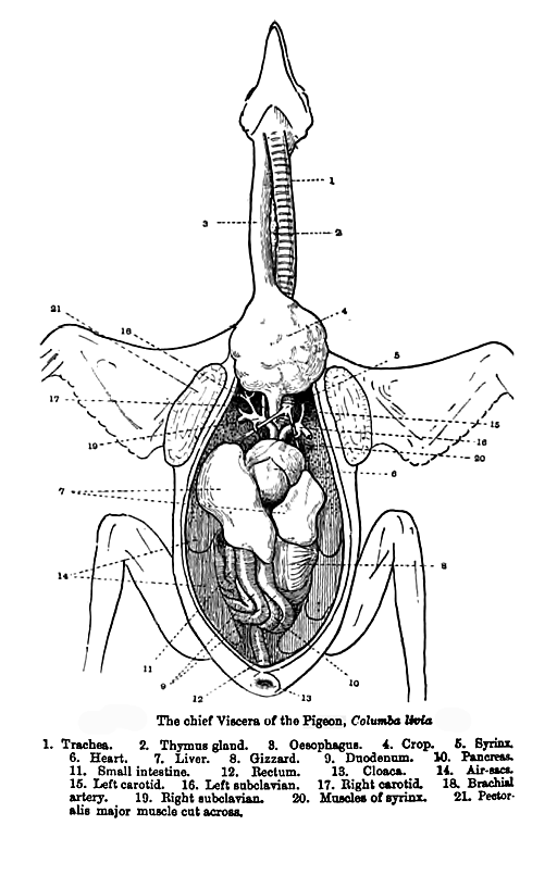 Turkey Muscle Diagram - ~ Wiring Diagram Portal ~ •