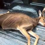 CWD-buck