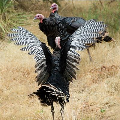 Wild Turkey Burns