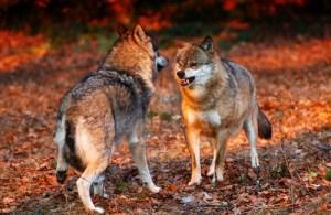 Wisconsin Wolves Eat Black Bear