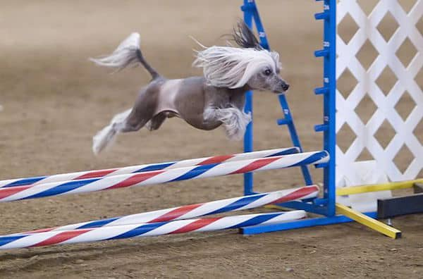 """""""Chinese Crested hairless agility"""" by Ron Armstrong from Helena, MT, USA - HMKC Spring 2007 Agility Trial. Licensed under CC BY 2.0 via Wikimedia Commons"""
