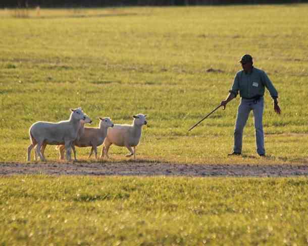 sheepdog trials dog festival rural hill