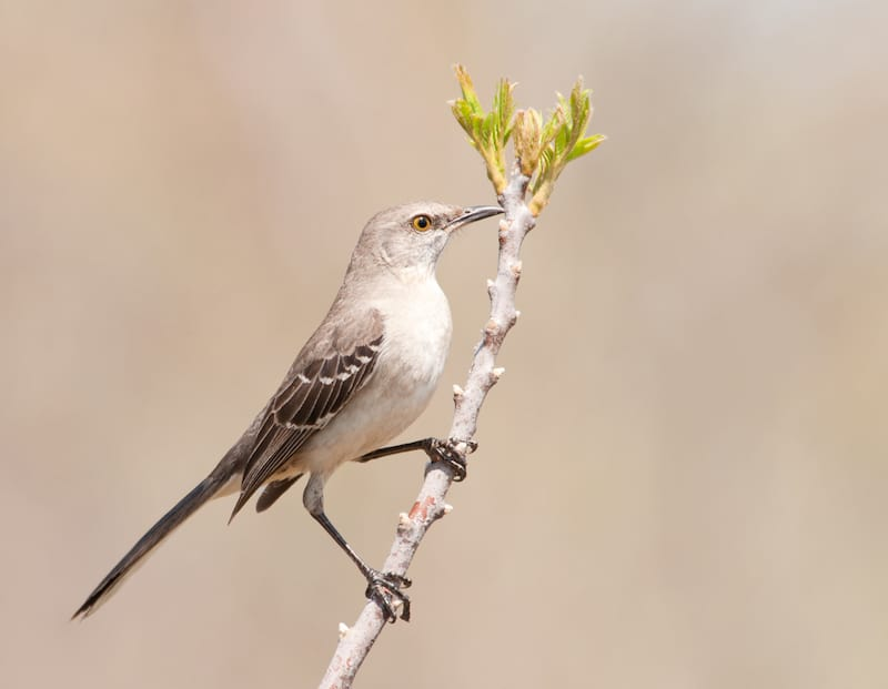 Free Community Talk At Wild Birds Unlimited Northern Mockingbirds Charlotte On The Cheap