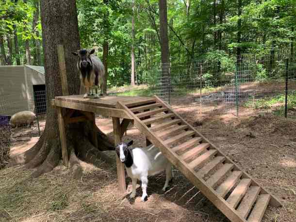 Two goats on farm