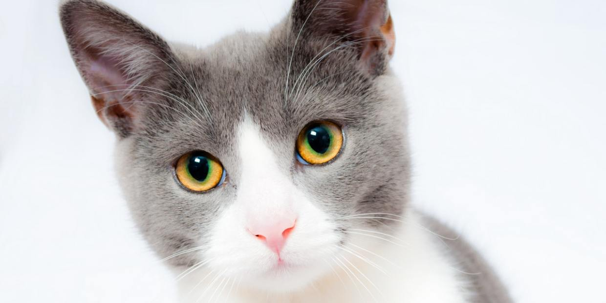 a gray and white cat
