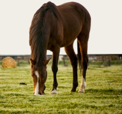 Do Pasture Horses Need Grain?