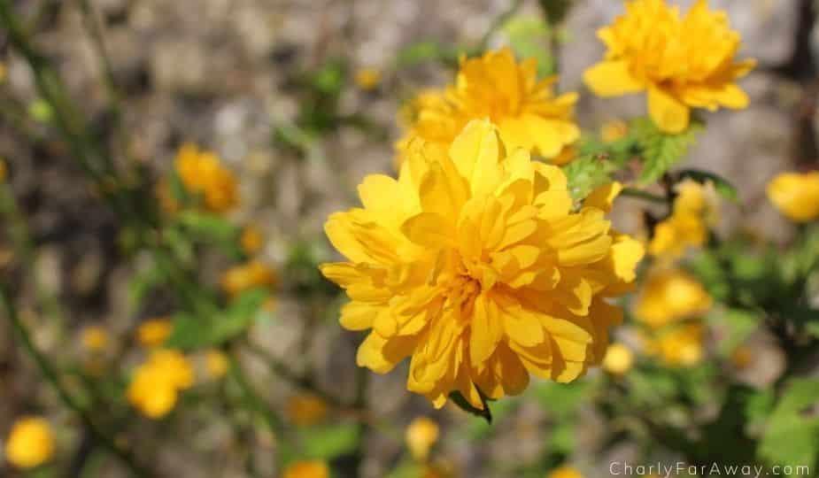 Mirmande fleuri