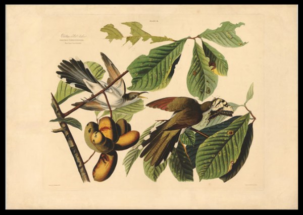 Cuckoo on a pawpaw tree, JJ Audubon.