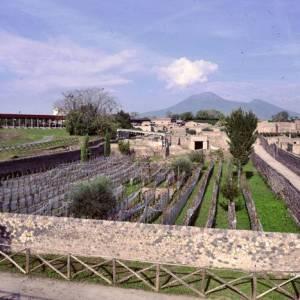 I filari di vite piantati nell'area archeologica vesuviana