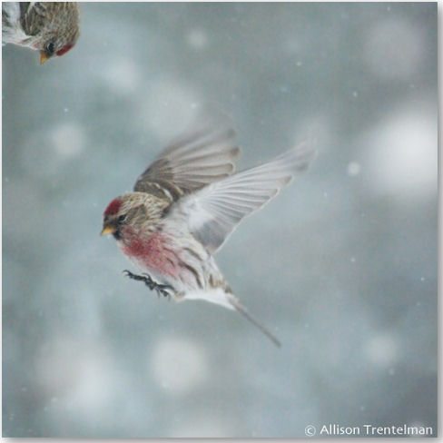 Redpolls in Snow 2 - © Allison Trentelman