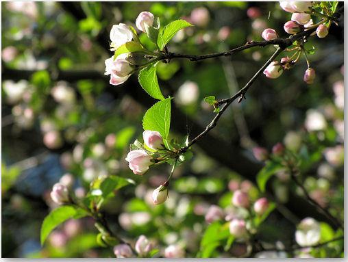 Blütenpracht - © Liisa