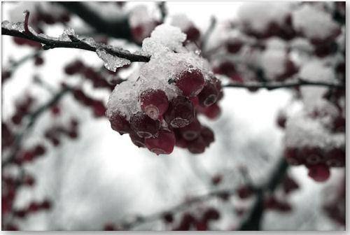 Crab Apples and snow - © kweaver2