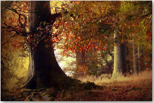 beech trees - © Cate Davies