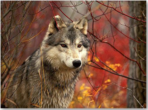 Wolf - © leider unbekannt