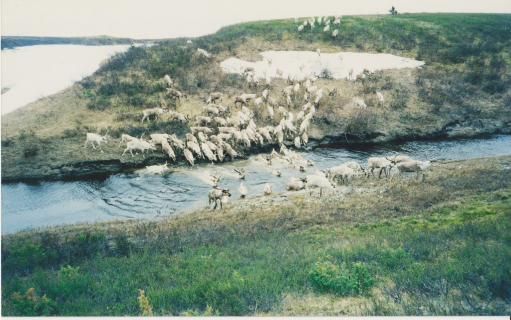 Reindeer on migration in the northern Komi Republic