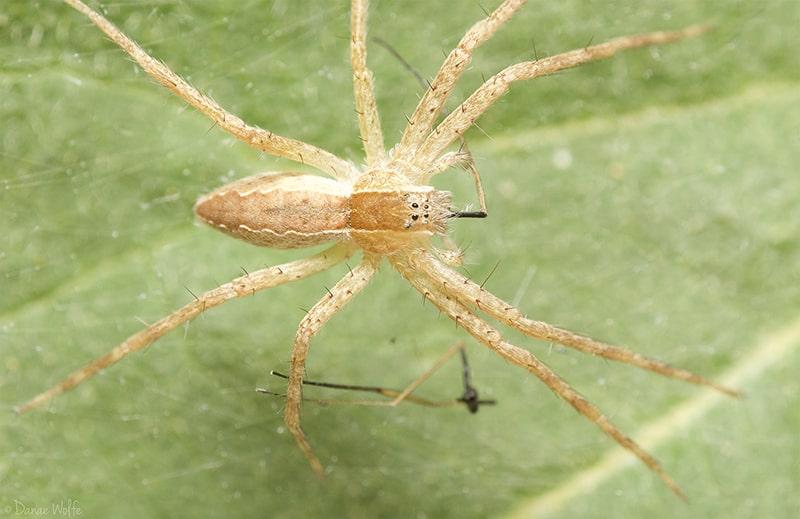 nursery web spider in web