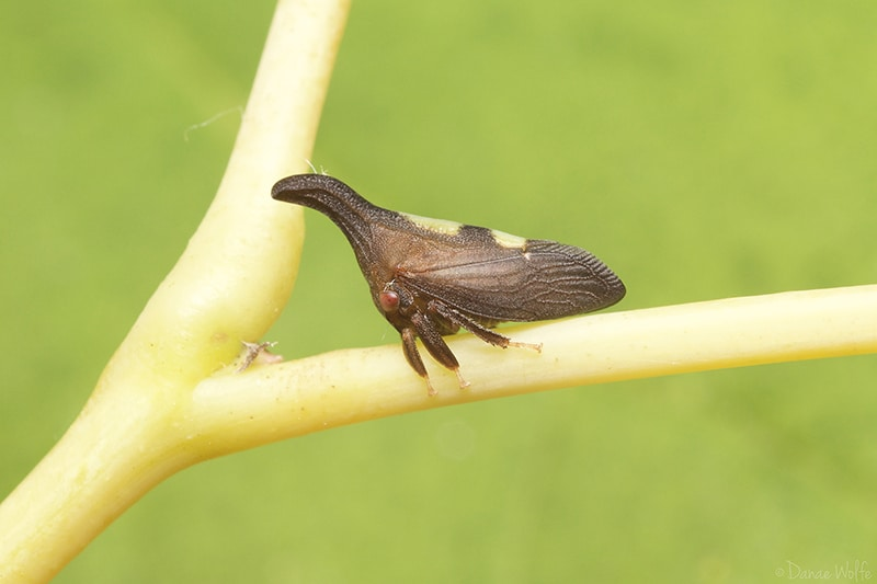 two-marked treehopper adult
