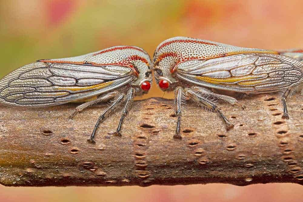 Young adult oak treehoppers