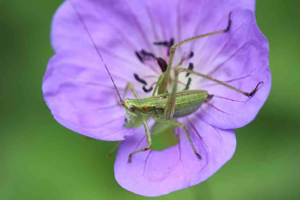 Katydid nymph eating flower