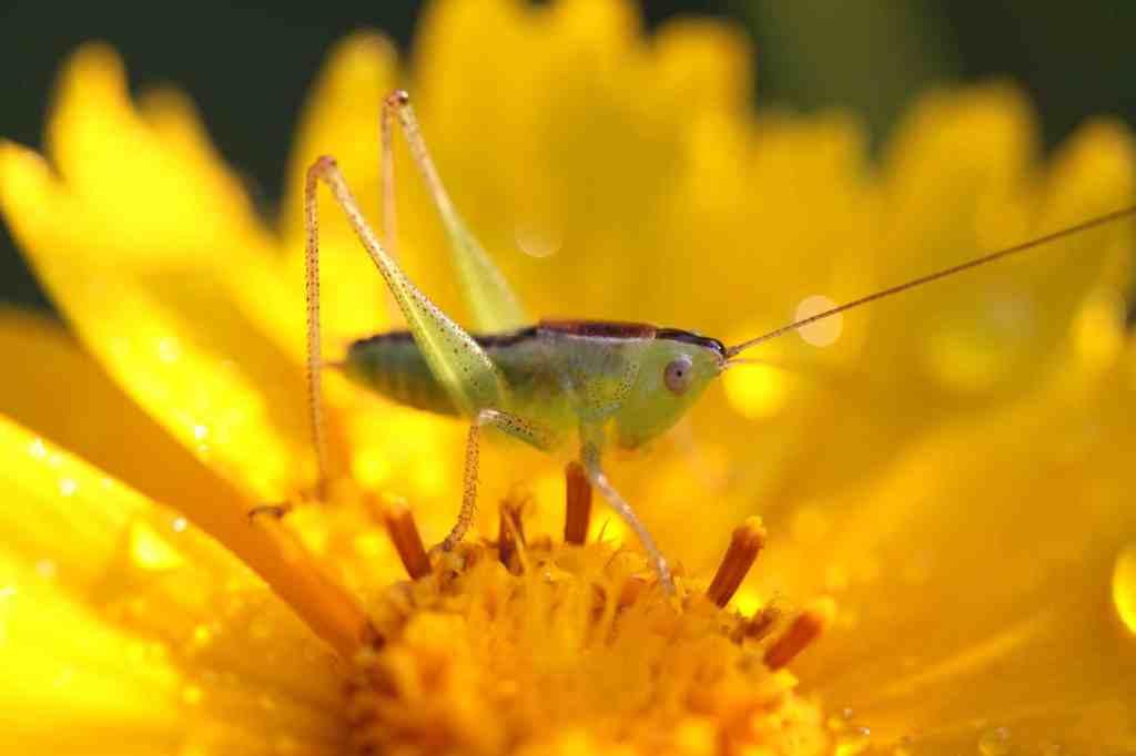 Grasshopper on native plant lanceleaf coreopsis