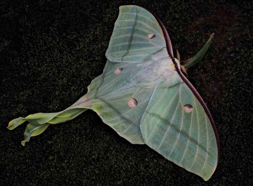 Luna moths, a species of moth that needs fallen leaves for pupation