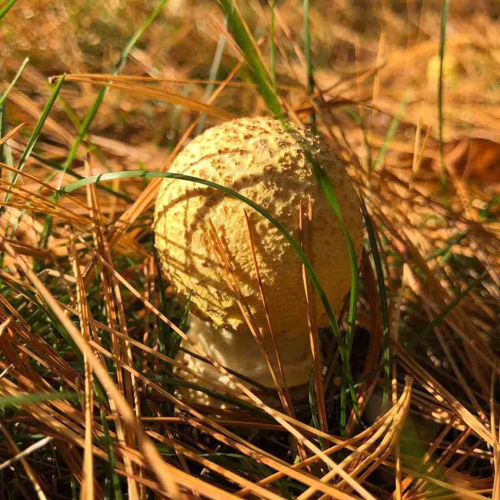 Mushroom in grass and pine needles