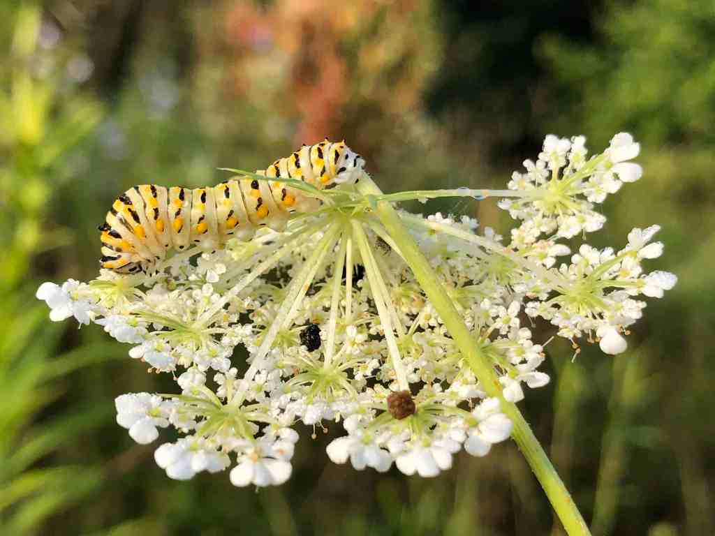 Queen Anne's Lace with swallowtail caterpillar