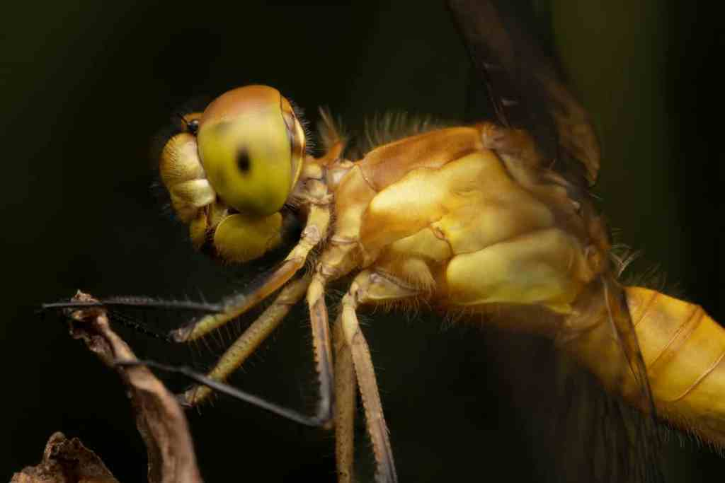 Macro photo of dragonfly profile