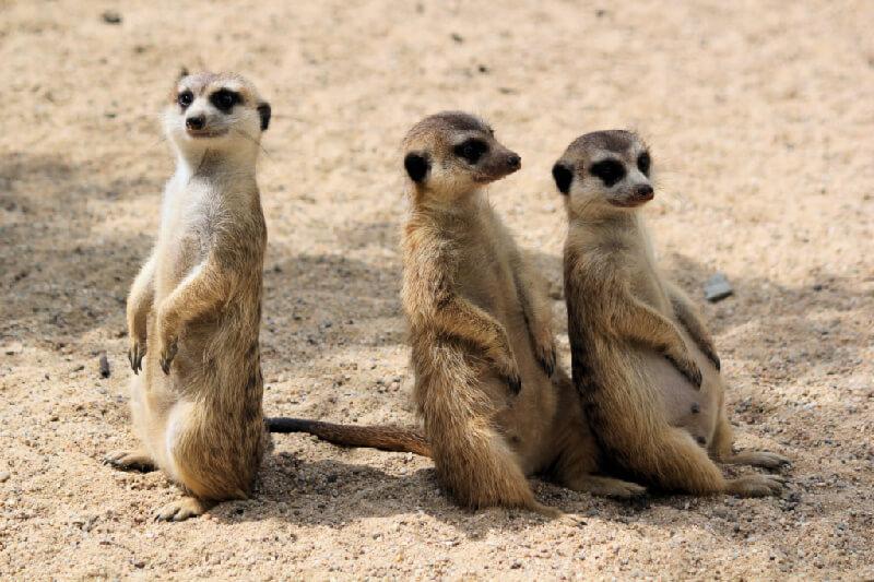 3 meerkats sitting down straight
