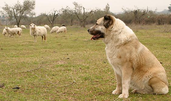 Russian Caucasion Mountain Dog