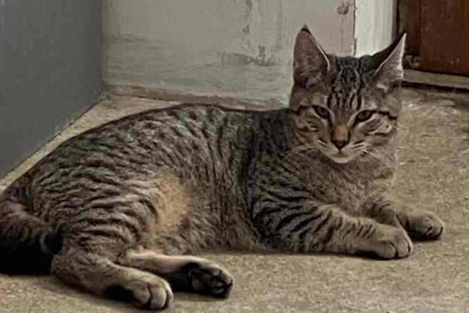 pixie bob male brown spotted tabby