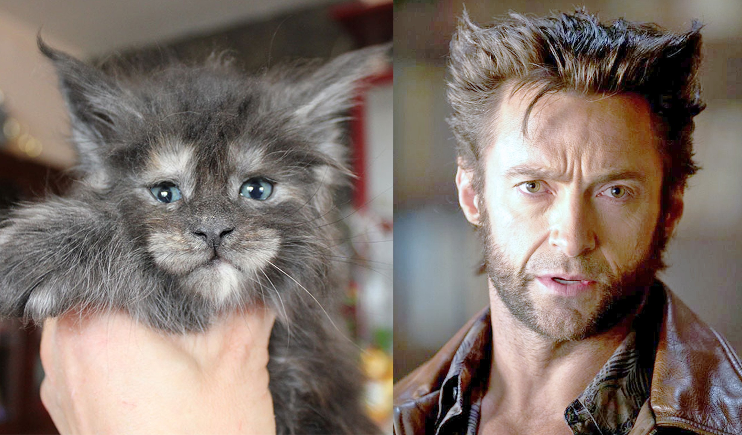 ADORABLE KITTEN LOOKS JUST LIKE WOLVERINE Chatty Buddha
