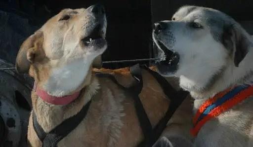 Os cães começaram a chorar desesperadamente no Norte, uma desgraça está chegando