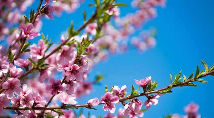 Pink and white blossoms on tree branches