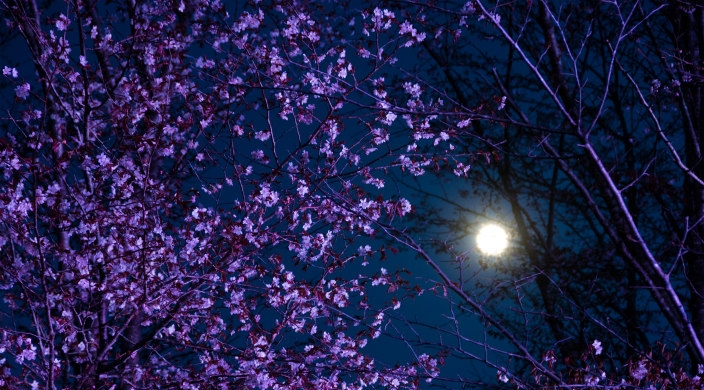 Moon peering through a closeup of cherry blossom trees