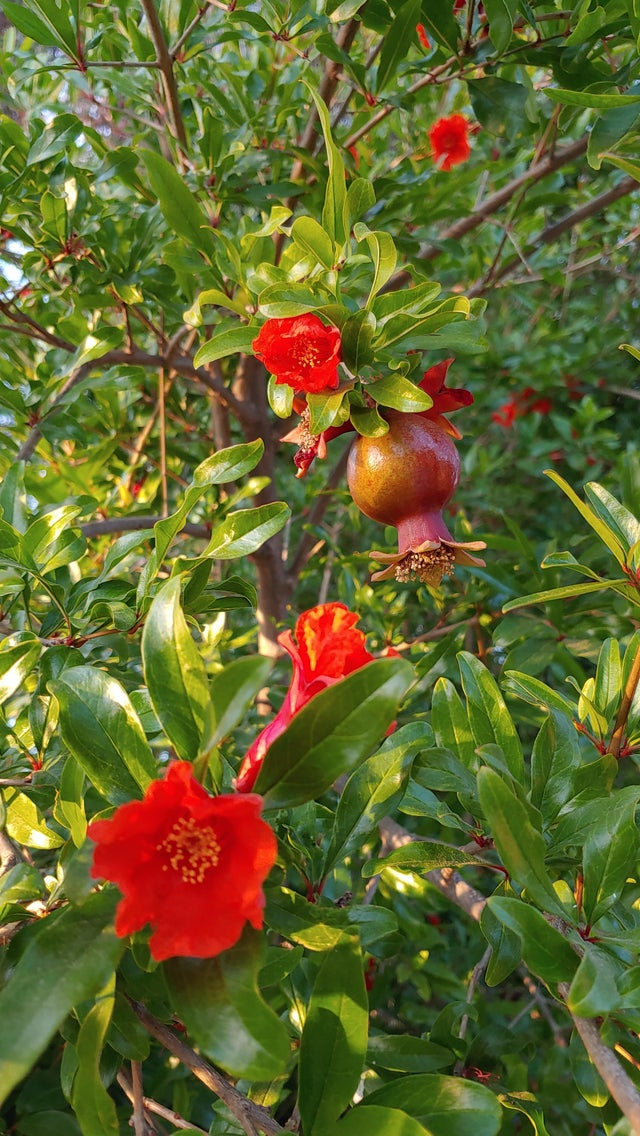 The pomegranates are coming in!