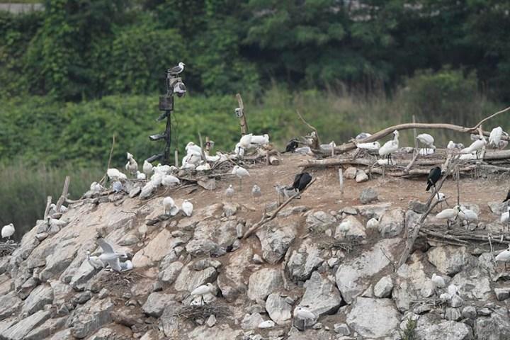 Black-faced Spoonbill activities in Namdong Reservoir