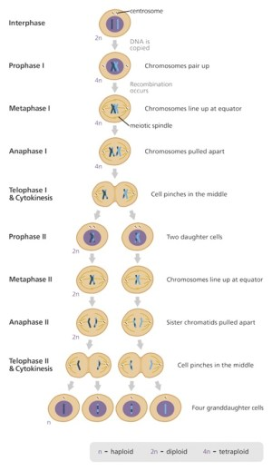 Meiosis Cheat Sheet by Leahs_Notes  Download free from