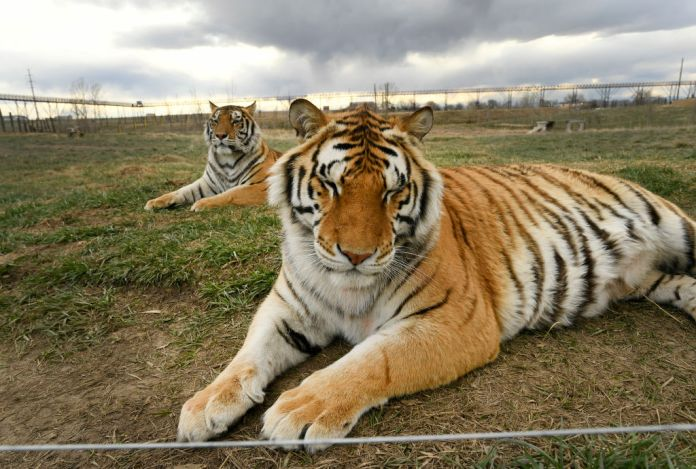 What happened to the 'Tiger King' tigers