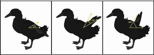 アヒルの屈曲翼 ~ 初列風切り羽が上向きにねじれる状態