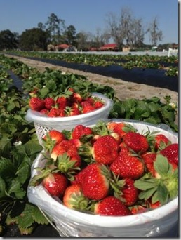 Strawberries in the field - C