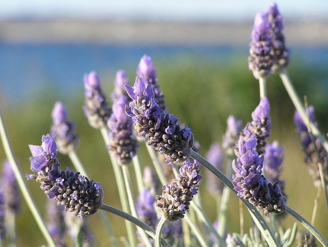 https://i1.wp.com/www.chefursula.com/wp-content/uploads/2014/07/lavender-19235_640.jpg
