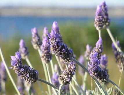 https://i1.wp.com/www.chefursula.com/wp-content/uploads/2014/07/lavender-19235_640.jpg?resize=427%2C326