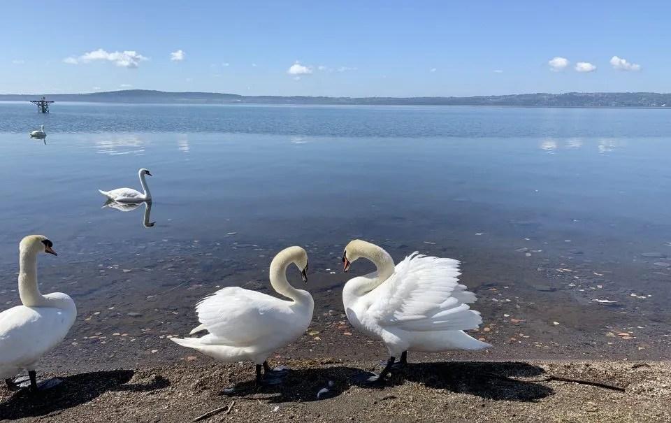 cigni a cuore a trevignano sul lago di bracciano