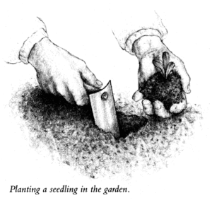 Planting a Seedling in the Garden