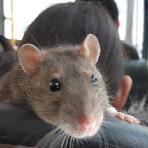 Крыса в капюшоне пассажирки маршрутки удивила челябинцев ...